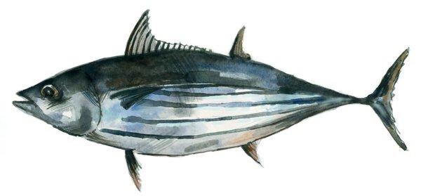 Gestreifter Thunfisch Katsuwonus Pelamis