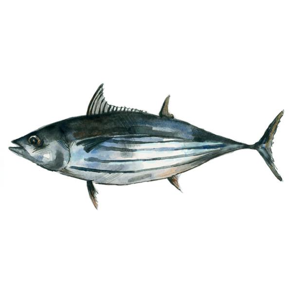 Gestreifter Thunfisch