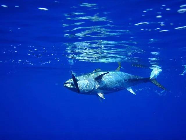 Thunfisch in Tarifa